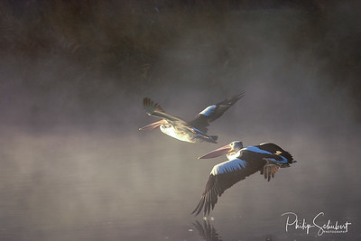 Two Pelicans flying in the early morning sunlight and fog near Waikerie on the Murray River in South Australia.