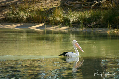 Pelican fishing on the tranquil waters of the Murray River near Wakerie in South Australia