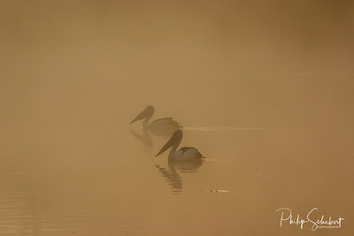 Two Pelicans fishing in the early morning sunlight and fog near Waikerie on the Murray River in South Australia
