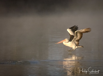 Pelican landing in the early morning sunlight and fog near Waikerie on the Murray River in South Australia.