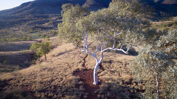 Low level aerial view of Snappy Gum in the Karijini National Park, Western Australia