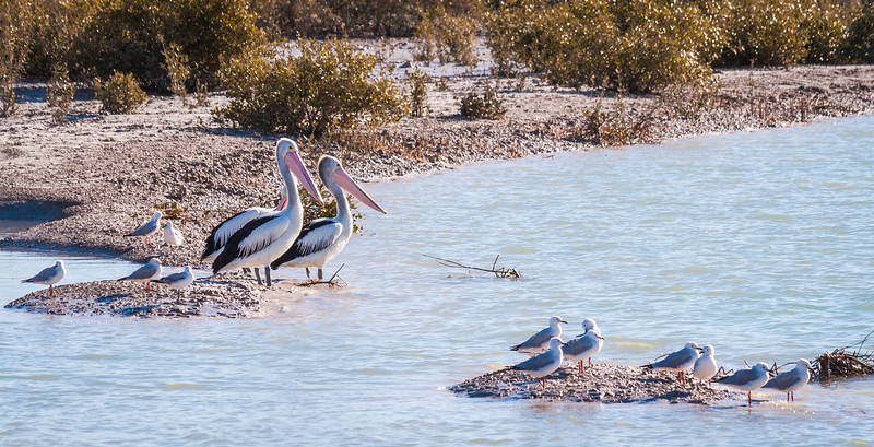 Pardoo Creek Pelicans