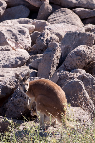 Red Kangaroo amongst coastal rocks in the Cape Keraudren Nature Reserve, Pilbara, Western Australia