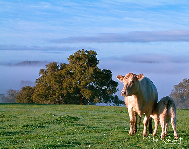 Cow and calf feeding  on green bright green grass above the fog line in brilliant early morning sunshine