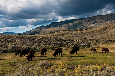Bison Herd Feeding at Lamar Valley, Yellowstone National Park