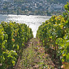 Looking through the grapevines towards the Rhine