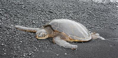 Honu (Green Sea Turtle) Resting