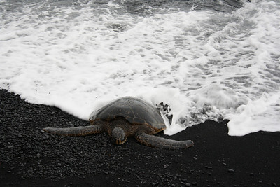 Honu (Green Sea Turtle) Relaxing with an Ocean Bath