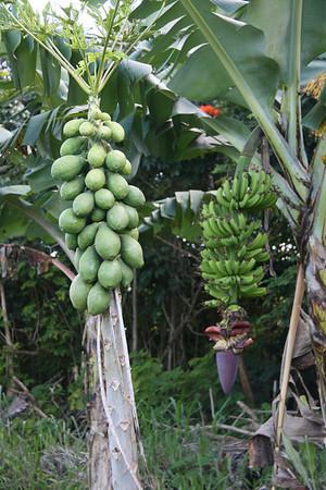 Papayas and Bananas Growing