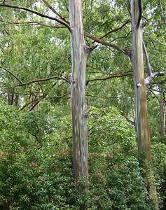 Colorful Eucalyptus Trees