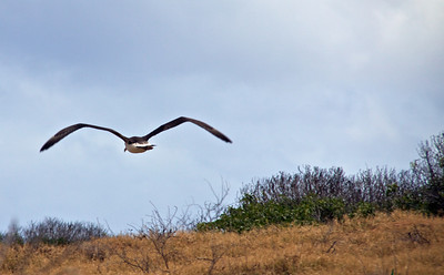 Laysan Albatross Take Off