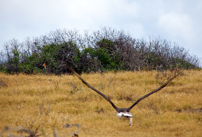 Laysan Albatross—Wings Out and Feet Up!