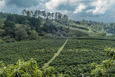 Coffee plantation, Costa Rica. Great coffee!!
