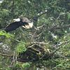 Alaska Slocum Arm Eagle_08