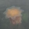 Alaska Chichagof jellyfish _00
