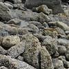 Alaska cannery beach barnacles_00