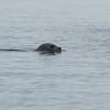 Alaska Zhilo Cove Harbor Seal _00