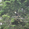 Alaska Slocum Arm Eagle_05