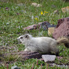 Hoary Marmot near Logan pass