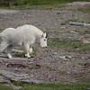 Mt. Goat near Logan Pass