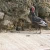 Turkeys in Angangueo