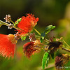 """""""BAJA FAIRY DUSTERS"""" (aka Calliandra californica)<br /> <br /> """"With a few flowers in my garden, half a dozen pictures and some books, I live without envy."""" ~ Lope de Vega<br /> <br /> While walking around """"My Happy Place"""" one evening, I noticed this protruding branch. It was the only one in its section. I didn't know its name until Howard Hull posted a photo on December 28, 2014 and another one on January 29, 2015.<br /> <br /> According to Wikipedia, """"Baja fairy duster (Calliandra californica) is a shrub which is native to Mexico. The flowers, which appear in early summer, have clusters of red stamens. The shrub is usually between 0.6 and 1.8 metres in height and has bipinnate leaves.""""<br /> <br /> (photo taken 12/26/2014)<br /> <br /> My Homepage:  <a href=""""http://www.Godschild.smugmug.com"""">http://www.Godschild.smugmug.com</a>"""