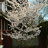"March 28, 2015<br /> <br /> ""BRADFORD PEAR TREE""<br /> <br /> ""Consider a tree for a moment. As beautiful as trees are to look at, we don't see what goes on underground - as they grow roots. Trees must develop deep roots in order to grow strong and produce their beauty. But we don't see the roots. We just see and enjoy the beauty. In much the same way, what goes on inside of us is like the roots of a tree."" ~ Joyce Meyer<br /> <br /> In full bloom........<br /> <br /> 210 Sunflower Avenue 03 210 East Percy Street<br /> Indianola, MS<br /> <br /> My Homepage:  <a href=""http://www.Godschild.SmugMug.com"">http://www.Godschild.SmugMug.com</a>"