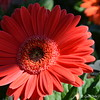 "March 15, 2013  ""GERBERA DAISY"" Corner Market Oak Grove, LA"