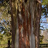 "Tree at ""ROWAN OAK""<br />  Old Taylor Road<br />  Oxford, MS<br /> <br />  Official website is here: <a href=""http://www.rowanoak.com"">http://www.rowanoak.com</a><br />  <br /> Home to William Faulkner and his family for over 40 years, Rowan Oak was originally built in 1844, and stands on over 29 acres of land just south of the Square in Oxford, MS. <br /> <br /> ""Rowan Oak is a Historic Home located on Old Taylor Road, Oxford, Mississippi. The previous address of the house was 719 Garfield roads, in the 1980's the street names were changed. Rowan Oak is also known as William Faulkner House as it was the former home of William Faulkner. The house was built in the 1840's and purchased by Faulkner in the 1930's and completed the majority of renovations himself. He furnished the house antiques and created an office where he kept his writing tools.""<br /> <br />  ""The house is a large two story white frame home on land that is a large 29 acres of wooded land known as Bailey's Woods, and the house occupies only four landscaped acres. The house received more renovations in the 1950's. The house is known for its famous features which is the outline of Faulkner's Pulitzer Prize winning novel A Fable.""<br /> <br />  ""The grounds and surrounding woods contain hundreds of native Mississippi plants; the driveway is lined with an alley of cedars which was common practice in the 1800's. Rowan Oak is a mythical tree which Faulkner used as inspiration for the multi layered time from Rowan Oak where the past and future seem to inhabit the presents. The studs of the house are hand-hewn square cypress.""<br /> <br />  ""The house was sold to the University of Mississippi in 1972 by William Faulkner's daughter, Jill Faulkner Summers. The home is used by the University to promote Faulkner's literary heritage and in 1968 was declared a National Historic Landmark. The house received some slight renovations that were funded by oxford resident John Grisham and was rededicated in May 2005."" <br /> <br /> ""Tours of the house show visitors behind the house where the stable and cooks house are located along with the smokehouse and the preserved gardens. The house has been visited by many accomplished writers over the years including Charles Wright, Alice Walker, Salman Rushdie and John Updike. When author Mark Richard visited Rowan Oak her repaired the faulty doorknob on the French door that led to Faulkner's Study.""<br />  <br /> ~ Reprinted text from here: <a href=""http://www.city-data.com/articles/Rowan-Oak-is-the-historic-home-of-author.html#ixzz2NTrwcYNjOfficial"">http://www.city-data.com/articles/Rowan-Oak-is-the-historic-home-of-author.html#ixzz2NTrwcYNjOfficial</a> website: <a href=""http://www.rowanoak.com/"">http://www.rowanoak.com/</a><br /> <br />  (photo taken 3/13/2013)"