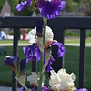April 3, 2015<br /> <br /> TALL BEARDED IRISES<br /> <br /> Photographed near the Catfish Row Children's Art Park <br /> Downtown on levee Street<br /> Vicksburg, MS
