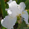 April 3, 2015<br /> <br /> TALL BEARDED IRIS<br /> <br /> Photographed near the Catfish Row Children's Art Park <br /> Downtown on levee Street<br /> Vicksburg, MS