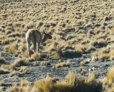 Animals of the Atacama
