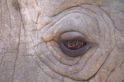"Southern White Rhinoceros. ""Jericho"""