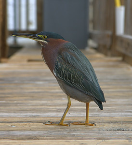 Little Green Heron.