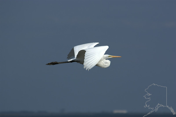 Egret in flight.