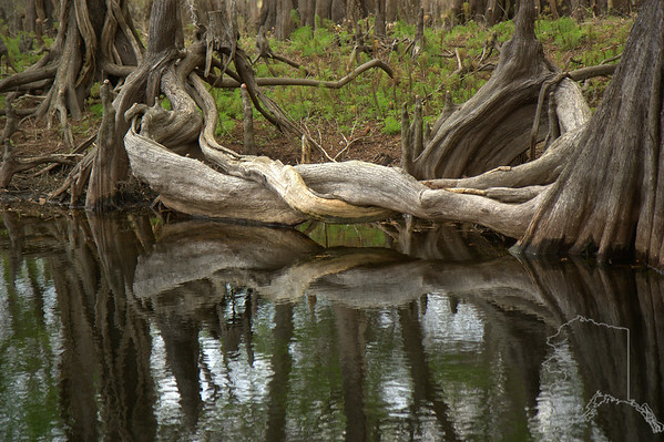 Nature made knot at Mullet Lake Florida.