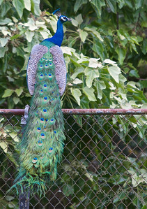 """Peacocks are large, colorful pheasants (typically blue and green) known for their iridescent tails. These tail feathers, or coverts, spread out in a distinctive train that is more than 60 percent of the bird's total body length and boast colorful """"eye"""" markings of blue, gold, red, and other hues. The large train is used in mating rituals and courtship displays. It can be arched into a magnificent fan that reaches across the bird's back and touches the ground on either side. Females are believed to choose their mates according to the size, color, and quality of these outrageous feather trains."""