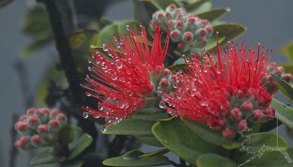 The steam has condensed on the this 'Ohi'a Lehua.