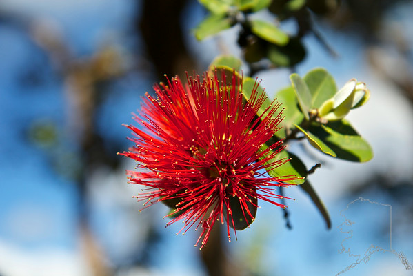 This is a Metrosideros polymorpha. It is called 'Ohi'a Lehua by the Hawaiians. Meaning twisted by fire.
