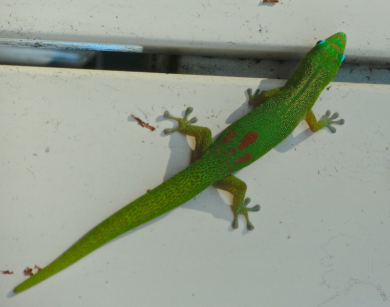 A green Gecko.