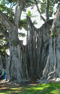 This is a very old banyan tree. It is at the north end of Alii Dr., Kona
