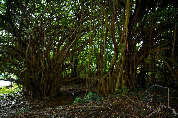 We took a day trip from Maui to the Big Island. Had a great time. 100 year old Banyan Tree at Rainbow Falls.