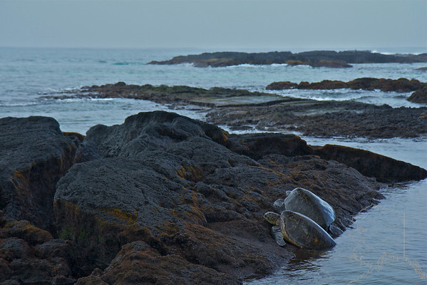 We took a day trip from Maui to the Big Island. Had a great time. A pair of Turtles having lunch on the coast at Hilo.