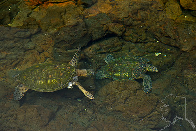 We took a day trip from Maui to the Big Island. Had a great time. A pear of Turtles in a ocean tide pond.