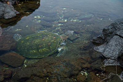 We took a day trip from Maui to the Big Island. Had a great time. A Turtle in a ocean tide pond. He looks old and has nodules growing on it. But what a great looking shell.