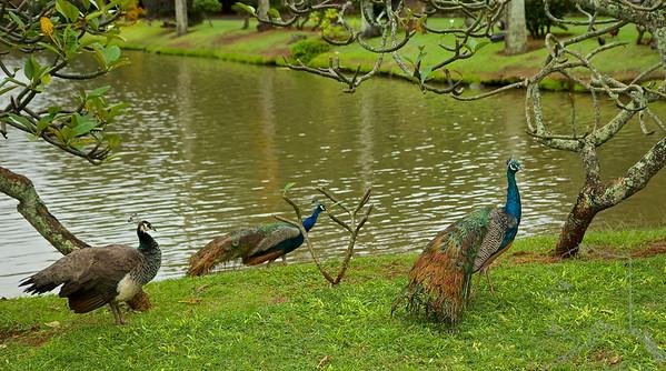 Smith's Tropical Paradise. Peacock