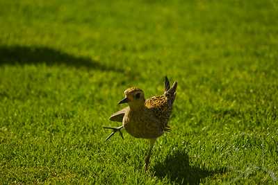 This Pacific Golden Plover came by to see us every day. Doing the Hula!