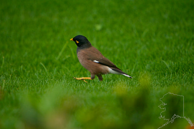 This Myna Bird stopped by for a short visit.