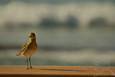 This Pacific Golden Plover came by to see us every day.