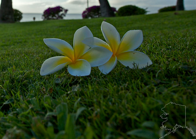Yellow Plumeria flowers on Maui. I found these under a tree.